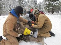 Agency workers and volunteers from the local community collect health samples from bighorn sheep on January 12 on the Woods Ranch Wildlife Management Area near Eureka.  Montana Fish, Wildlife & Parks courtesy photo.